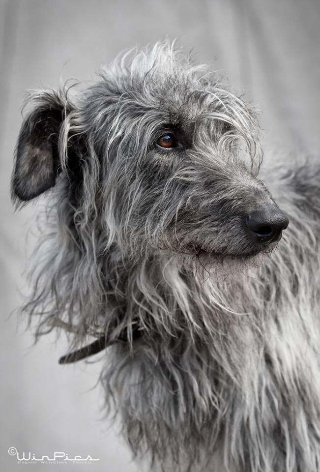 Scherzo the deerhound Foto: Winpic