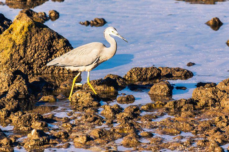 White Faced Heron - Brisbane, Australia - Zac Harney Photography