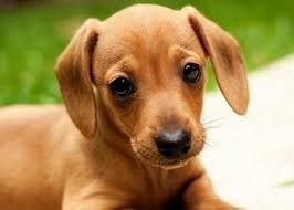 Resultado de imagem para raças de cachorro salsicha