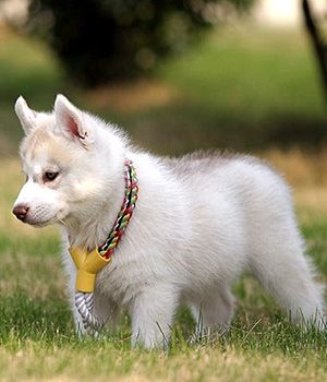 Kanadisk eskimohund - stor hunderase