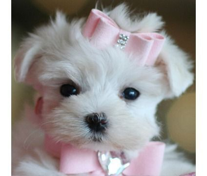 TEACUPS BREEDS | Teacup Breeds, Yorkies, Maltese, Poms, Chihuahuas, and More We Finance ...