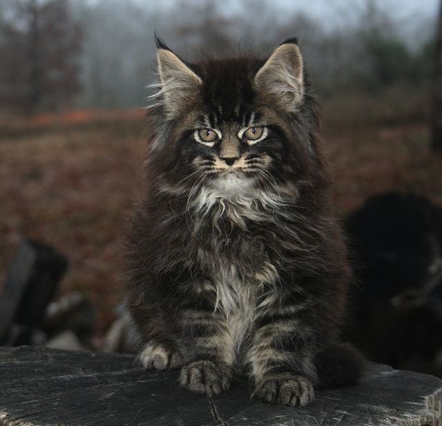 Mountain Fork Maine Coon Kittens, Imported European