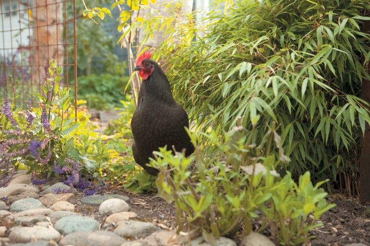 The Black Star chicken above is known as a hybrid 'sex link' chicken and is known for its outstanding egg-laying ability. Their easy-going temperament makes them an ideal option for backyard coops. Photo by Kate Baldwin. (From Free-Range Chicken Gardens, by Jessi Bloom)
