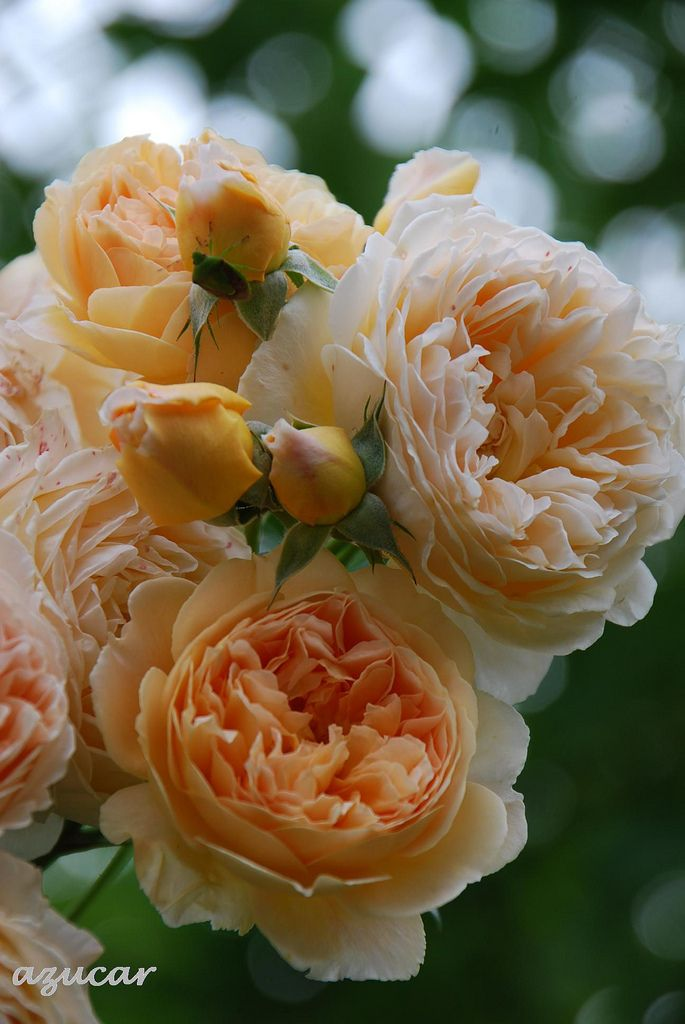 'Crown Princess Margareta' | David Austin English Rose. Austin, 1990 | Flickr - © azucargeminis