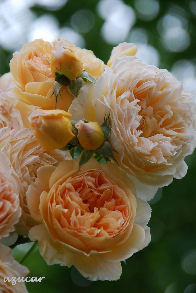 'Crown Princess Margareta' | David Austin English Rose. Austin, 1990 | Flickr - © azucargeminis