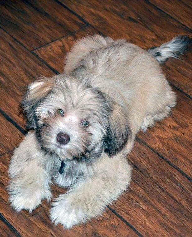Havanese Puppies For Sale Past Puppies Huskypuppy Havanese