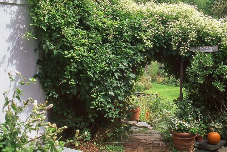 A very vigorous clematis, this vine doesn't just grow tall (up to 30 feet in a few months); it also grows wide, ensuring full coverage. Consider its tiny white flowers, which bloom in late summer and early fall, a bonus. Oh, and did we mention that the plant tolerates most soil and sun conditions?