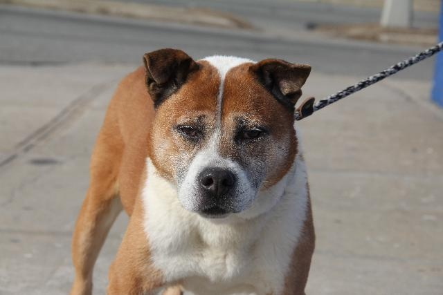Brooklyn Center    My name is BEAR. My Animal ID # is A0922883.  I am a male brown and white akita mix. The shelter thinks I am about 8 years old.    I came in the shelter as a OWNER SUR on 01/28/2012 from NY 11207, owner surrender reason stated was NO TIME.    EUTH MEMO  No Euth Memo    MOST RECENT MEDICAL RATING, BEHAVIOR RATING & WEIGHT  02/04/2012 Exam Type RE-EXAM - Medical Rating is 3 C - MAJOR CONDITIONS , Behavior Rating is NONE, Weight 45.5 LBS.    G/A: QAR, Geriatric EENT: coughing…