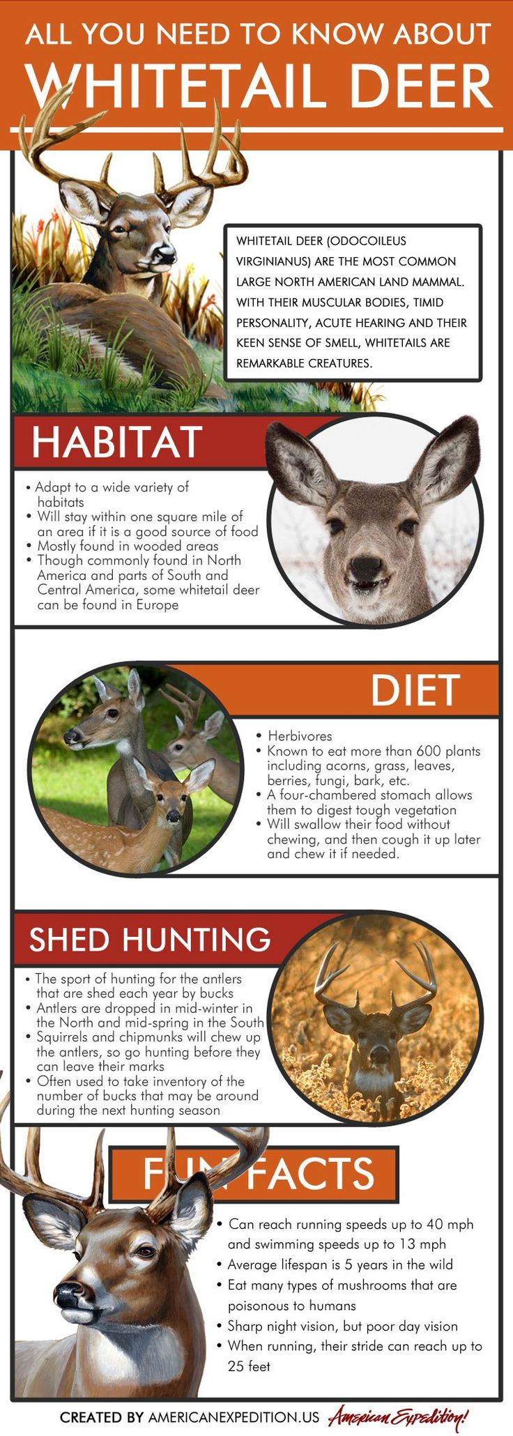 """Whitetail Deer Infographic - """"All You Need to Know About Whitetail Deer"""" - Learn about deer habitats, diets and what antler hunting is."""