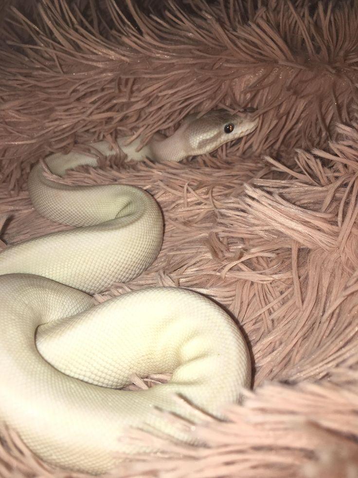 My super mojave male ball python.