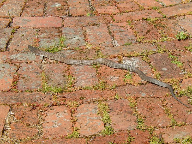 Unwelcome visitor. Snake outside front door.