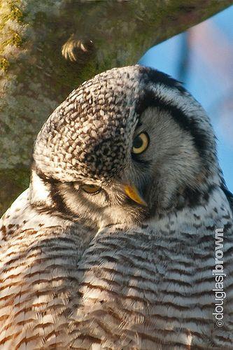 Hawk Owl | I had so much fun taking photos of this owl, so w… | Flickr