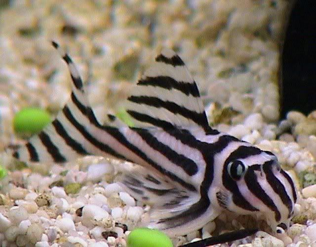 Freshwater Goldfish Species | PICS + INFO] Freshwater Fish Species Profiles - Ka...