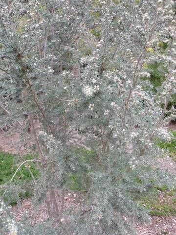 Leptospermum lanigerum • Australian Native Plants Nursery • Plants • 800.701.6517