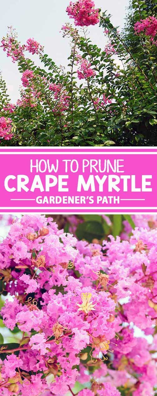 The crape myrtle is celebrated for its abundant groupings of colorful and delicate flowers in hues from white to deep red. If you know anything about these trees, you know that pruning them is a subject of great debate. To learn the proper way to trim cra