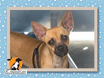Pug/Miniature Pinscher Mix Dog for adoption in Orange, California - MIJO