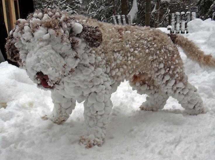 Snowflake, Lagotto Romagnolo