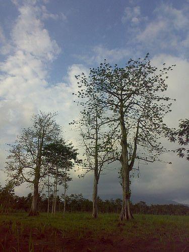 Pohon Kapuk / Randu | Flickr - Photo Sharing!