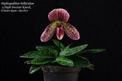 Paphiopedilum bellatulum x Paph Docteur Knock