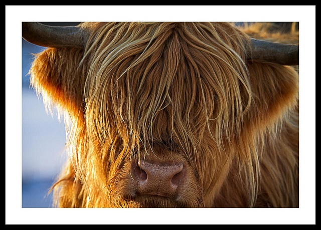 Highland cow....Newton Means, Scotland  adorable!