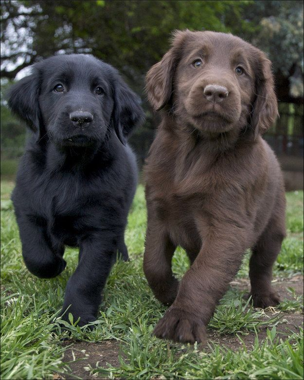awwww cute!!  Flat Coated Retriever | A Definitive Ranking Of The Cutest Puppies