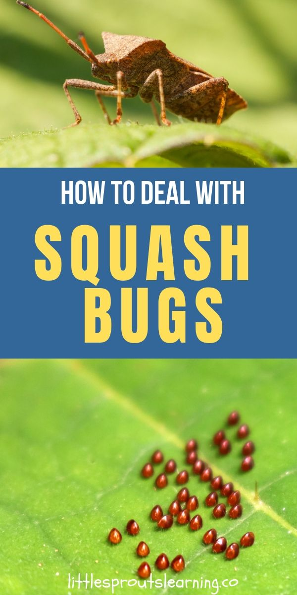 How To Get Rid Of Squash Bugs Squash Bugs Slugs In Garden