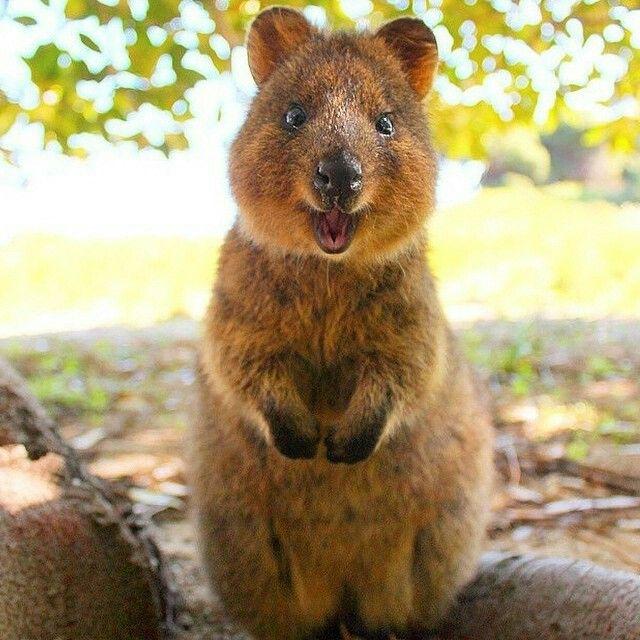 Quokkas Kangaroos so adorable | Quokka, Quokka animal ...