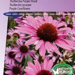 Rudbeckie pourpre (Echinacea)