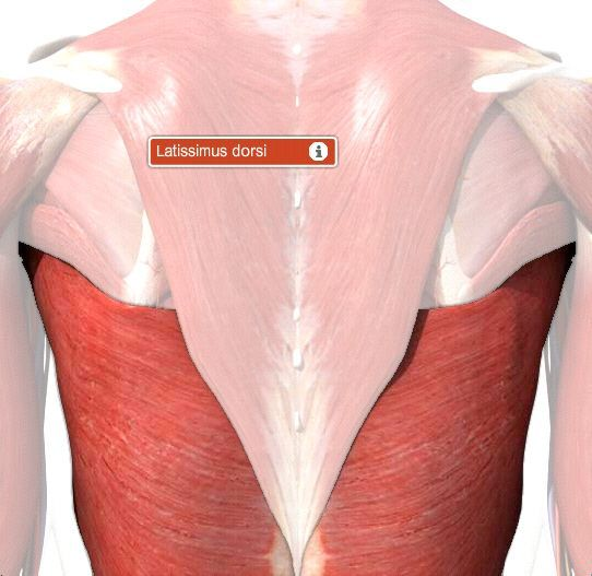 Latissimus Dorsi Muscle Origin, Function & Location | Body Maps