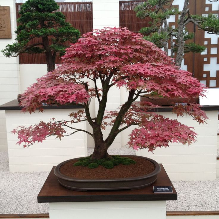 RHS Chelsea Flower Show 2016 London #bonsai #bonzai #acer
