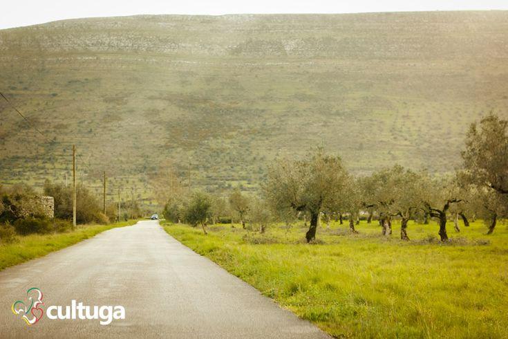 Campo de oliveiras em Alvados, naSerrade Aire e Candeeiros, em Portugal.