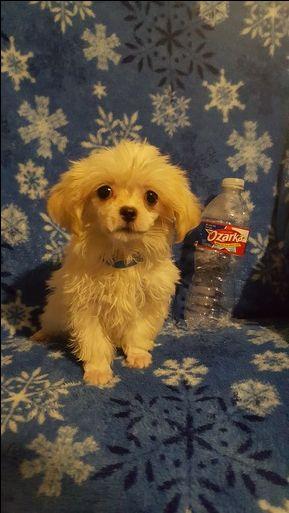Maltipoo puppy for sale in HILLSBORO, TX. ADN-39184 on PuppyFinder.com Gender: Male. Age: 13 Weeks Old