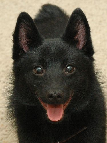 Schipperke Pictures How Beau Looked As A Baby Basically