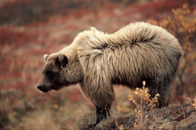 10 Facts About Bears: Brown bear - Ursus arctos