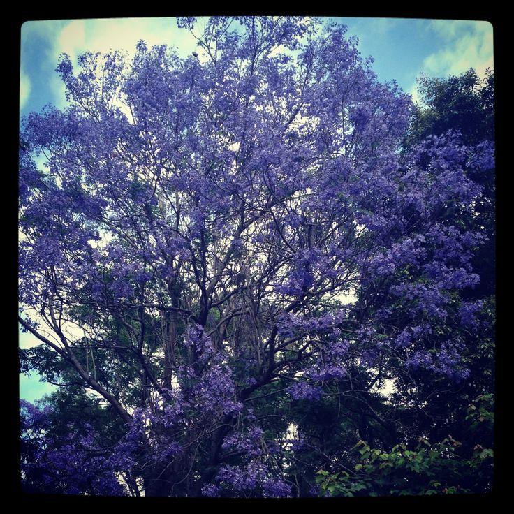 November at Merribee - the Jacarandas on the drive are in full bloom!