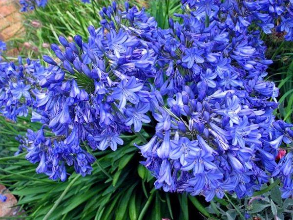 Agapantus niebieski - Agapanthus Blue Triumphator