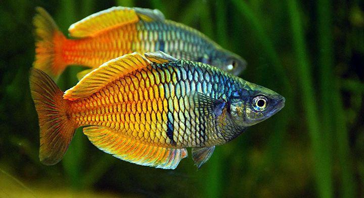 Best 25 australian rainbow fish ideas on pinterest for Rainbow fish species