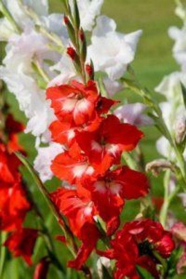 Growing Gladiolus Thriftyfun Beautiful Red White Gladioli Gladioli White Gladiolus Summer Flowering Bulbs Gladiolus Flower