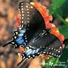 Female Black SwallowtailArticles - Information About Butterflies, Caterpillars & Plants The Mysteries of Life November 2008 by Regina Cutter Edwards (www.gardenswithwings.com)