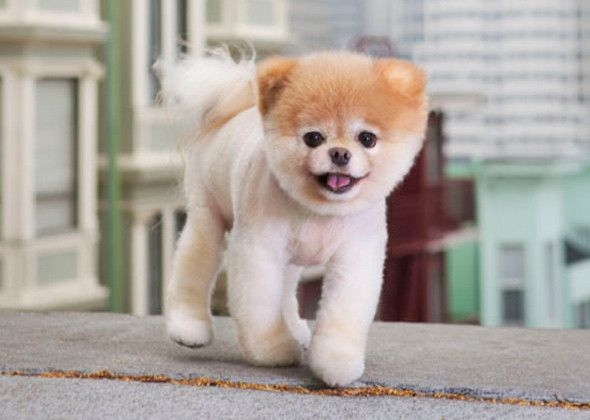 Best The Cutest Dog Boo Images On Pinterest Cutest Dogs