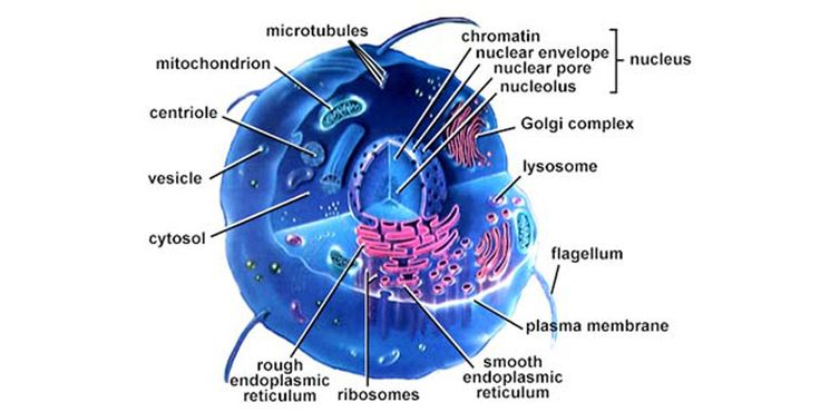 Human Cell Structure Function