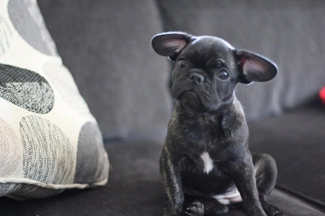 Frenchie Pug/Frug ( French Bulldog Pug Mix) Info, Puppies, Temperament, Video