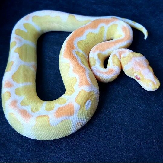 Albino Clown ball python                                                                                                                                                                                 More