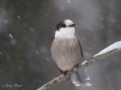 Whisky Jack in the Snow - Photo by Corey Hayes (This bird is known as a Gray Jay in the Pacific Northwest)