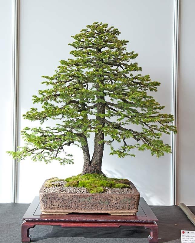 bonsai tronc double