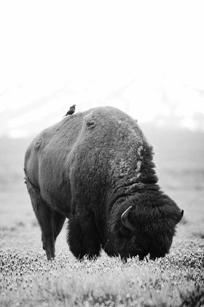 Montar un bufalo