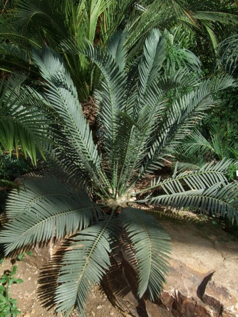 Cycad,many forms and colours from deep rich green to dusky grey/blue leaves.