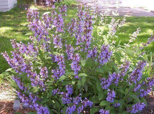PLANTAS CONTRA MOSQUITOS Su nombre científico es Salvia officinalis, pertenece a la familia de las lamiaceae y tiene su origen en el Sur de Europa. Es una planta aromática en forma de mata que puede alcanzar desde 40 centímetros a un metro de altura.