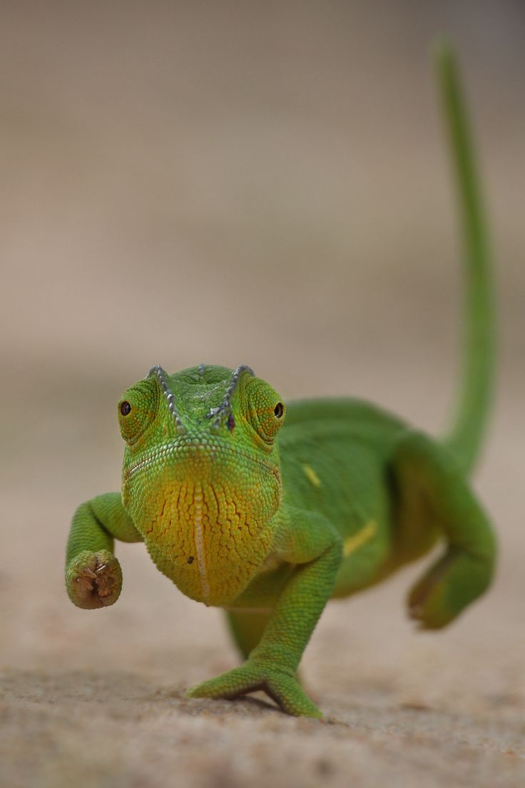 25 amazing chameleon pictures - Chameleon By Colin Lagerwall On 500px Isn T He A