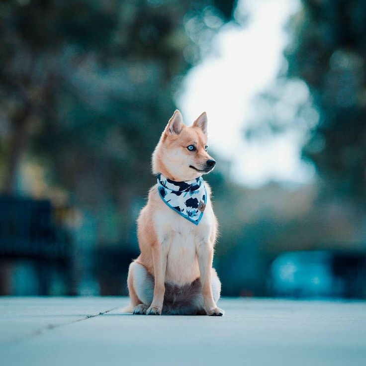 How Much Does A Pomsky Dog Cost References